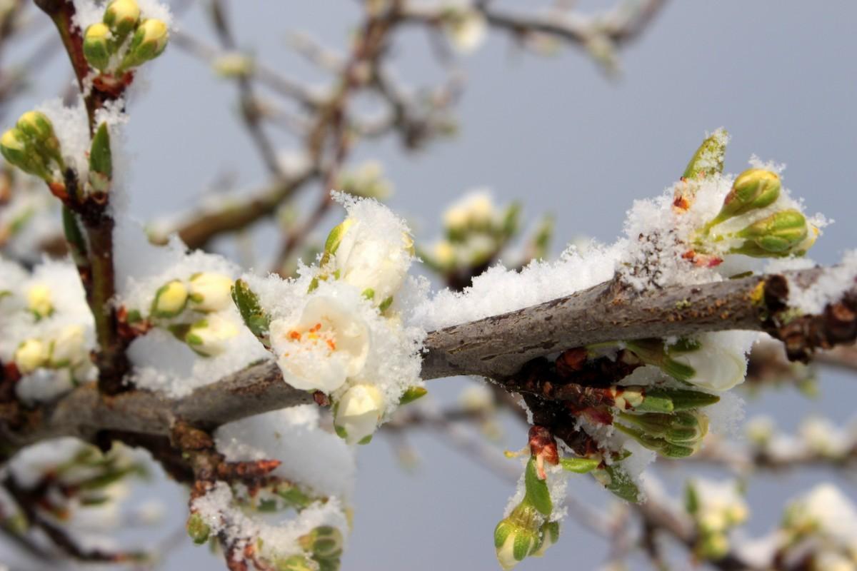 Images gratuites arbre la nature branche fleur fruit for Couverture plante hiver