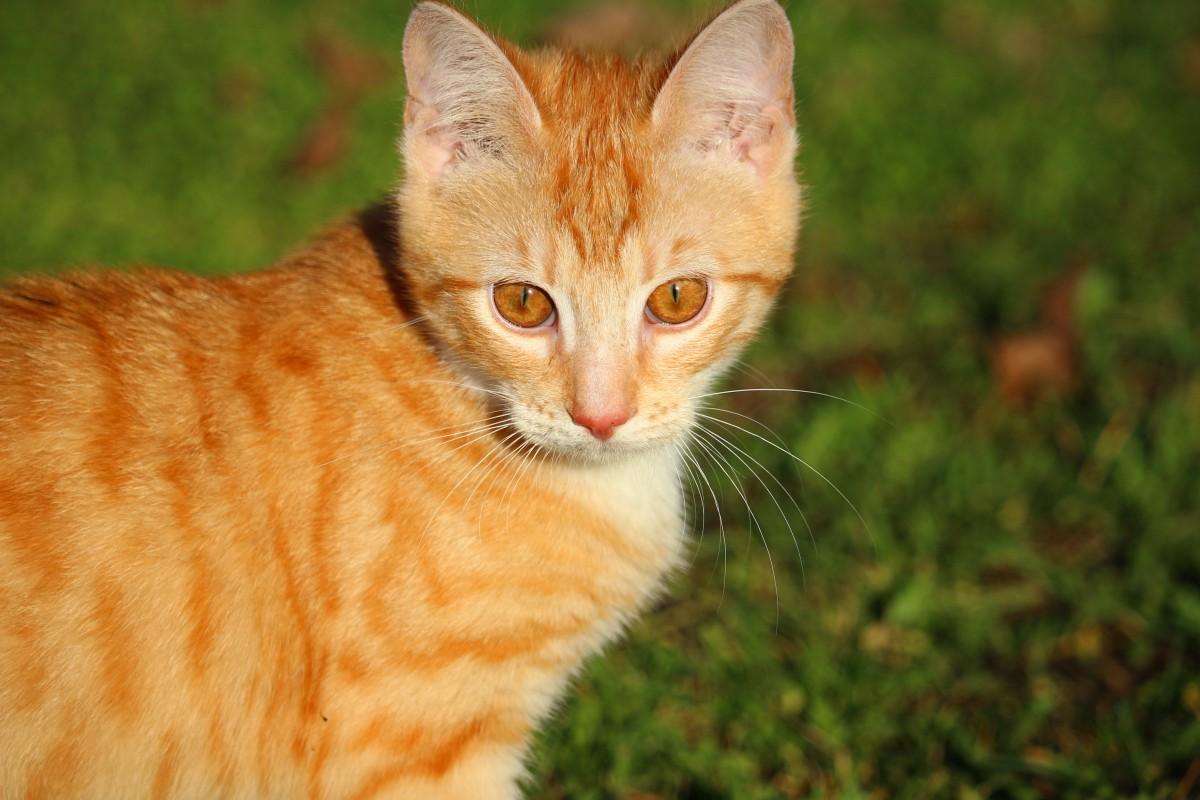 kostenlose foto gras k tzchen fauna whiskers wirbeltier hauskatze junge katze rote. Black Bedroom Furniture Sets. Home Design Ideas