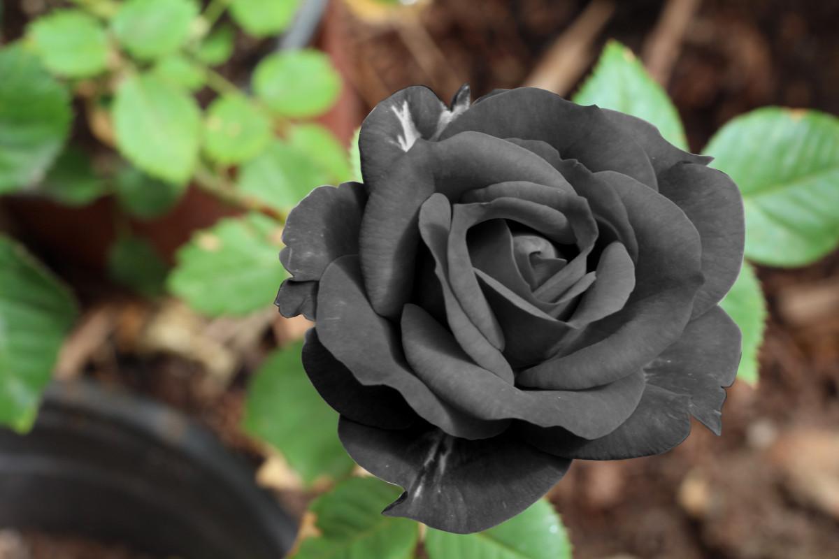 Free images leaf flower petal botany flora eyeball - Significado de los colores de las rosas ...