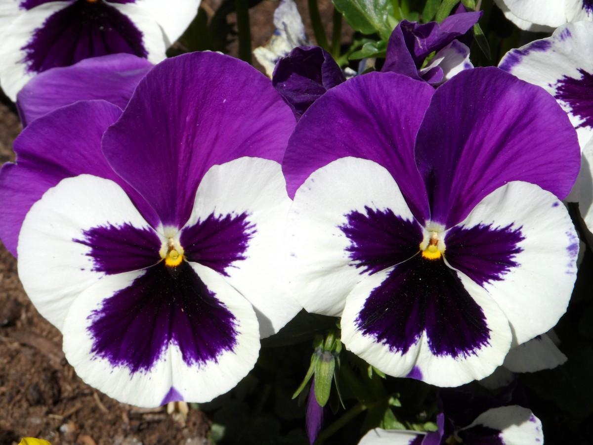 Images gratuites la nature fleur lumi re blanc violet p tale floraison printemps - Image fleur violette gratuite ...