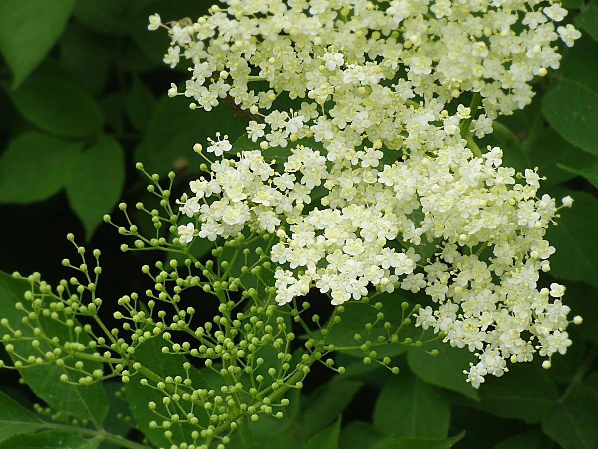 elderflower holler sambucus nigra holder bush elder white blossom bloom elder buds