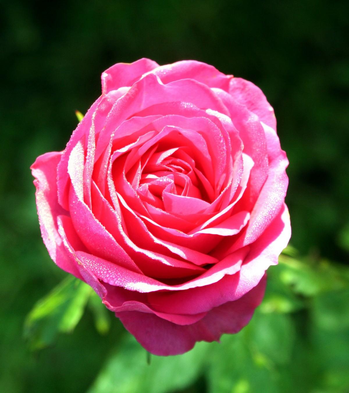 Garden Roses Flower Petal: Free Images : Grasshopper, Delicate, Rose Family, Garden
