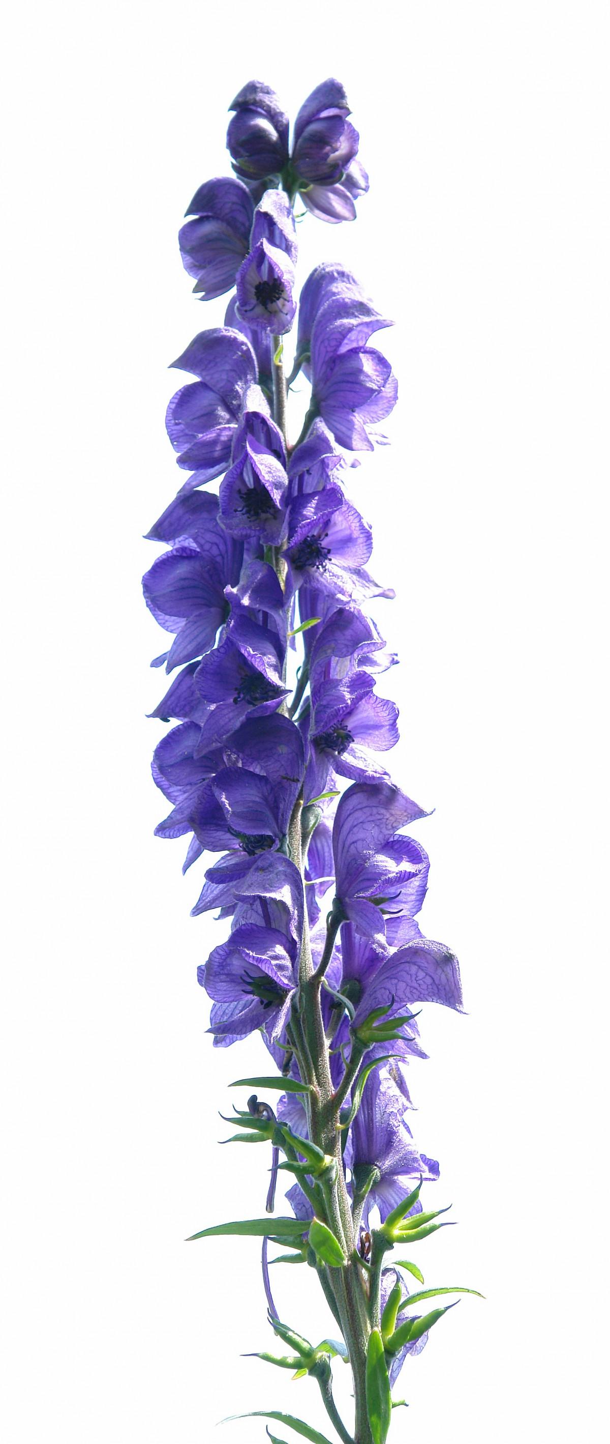 Fotos gratis flor p rpura p talo jard n lavanda - Cortar hierba alta ...