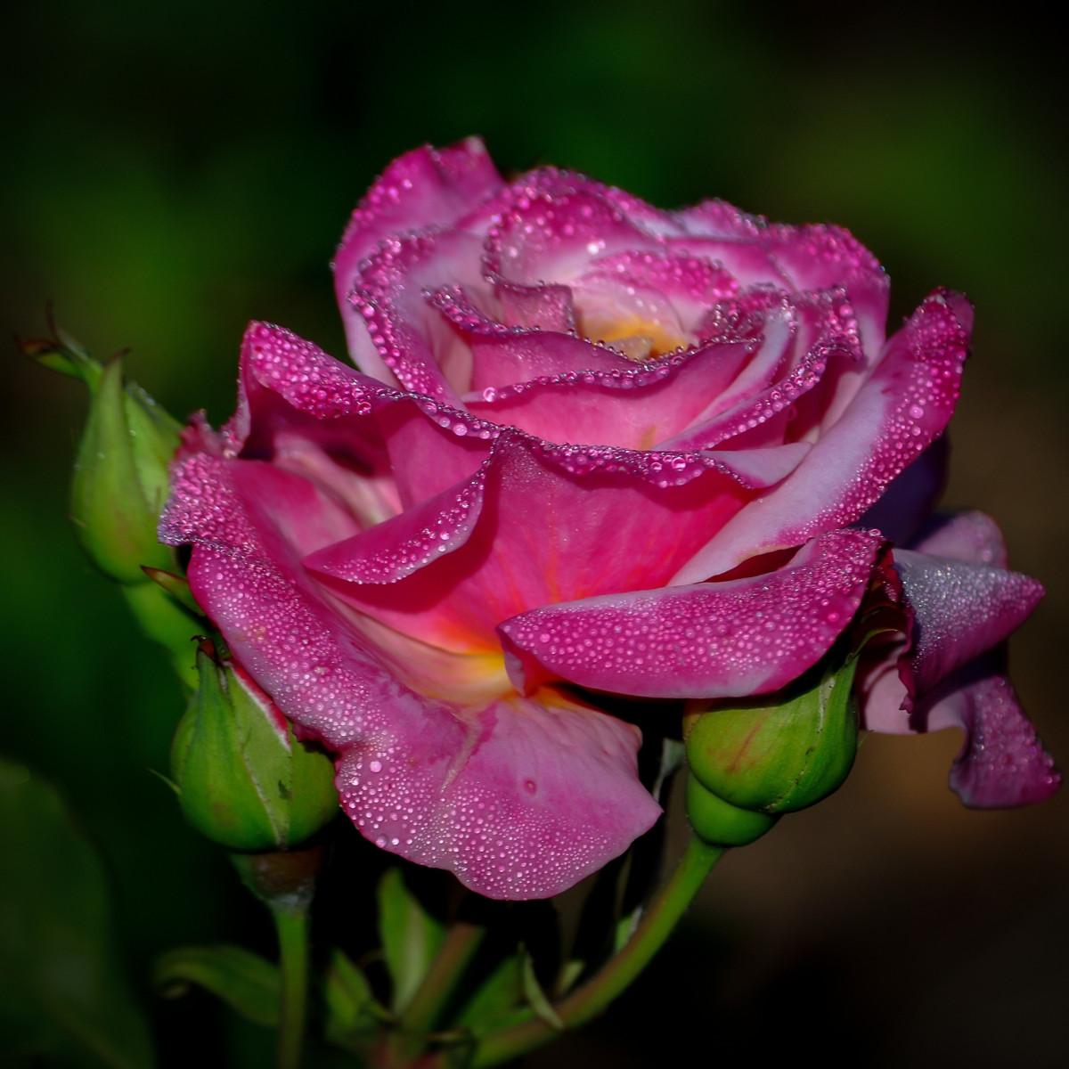 Garden Roses Flower Petal: Free Images : Flower, Petal, Close Up, Raindrops, Macro