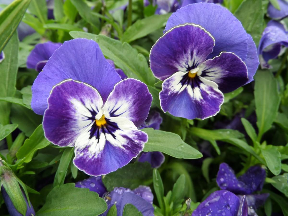 Free Images Flower Blue Garden Flora Eye Viola