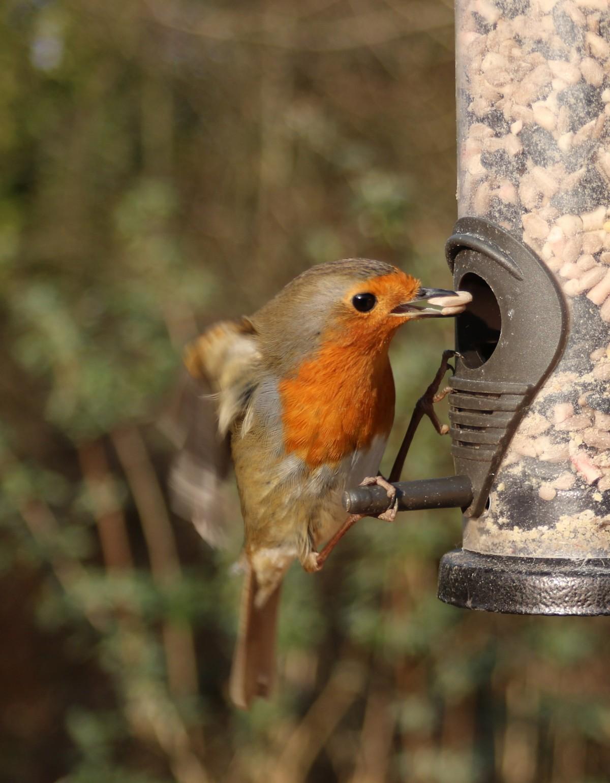 free images branch winter wildlife red beak fauna uk