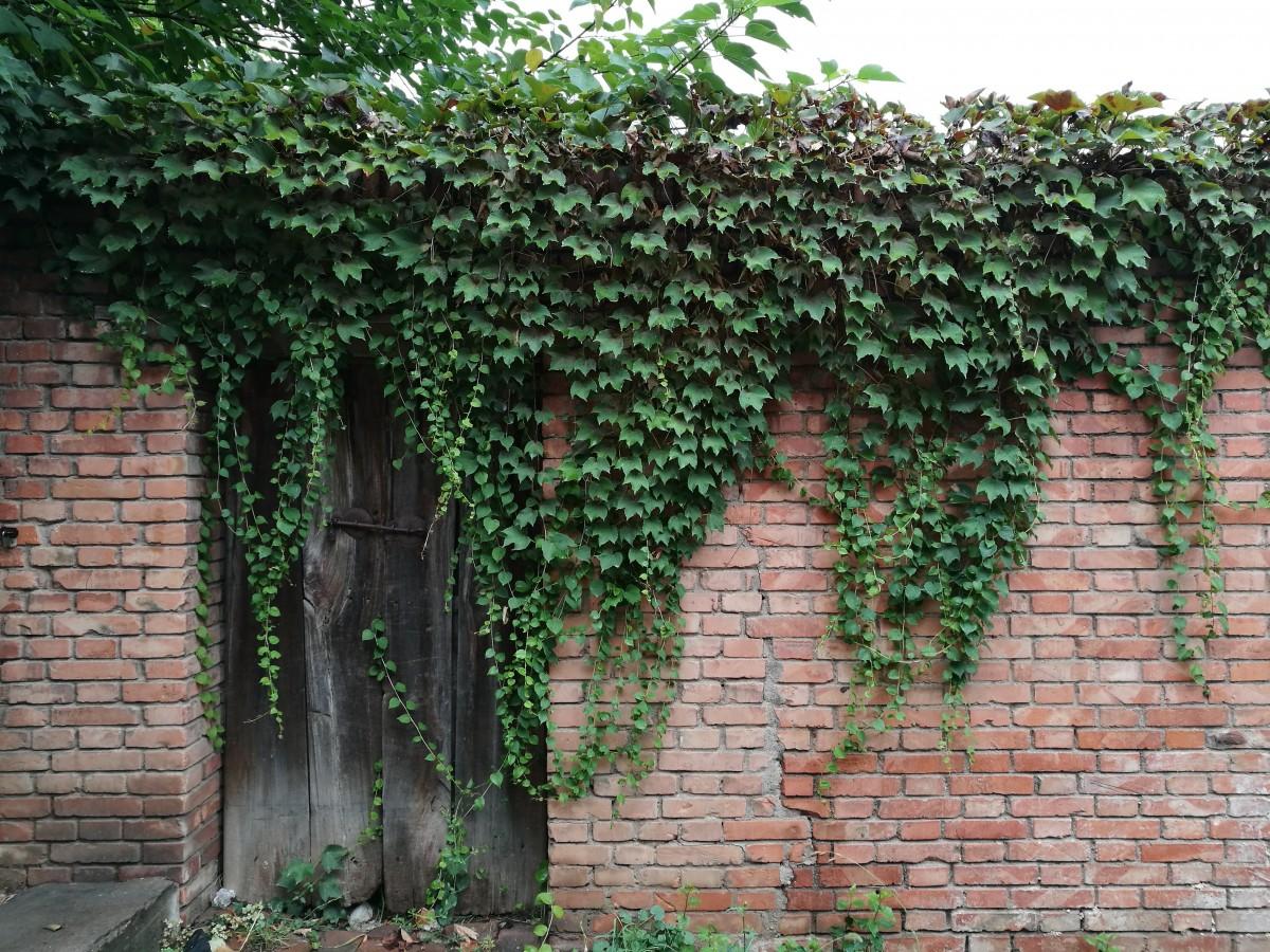 free images tree vine flower wall ivy door shrub. Black Bedroom Furniture Sets. Home Design Ideas