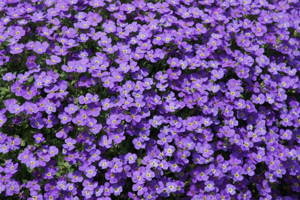 kostenlose foto bl hen blume lila kraut schlie en flora kleine blumen bl hende pflanze. Black Bedroom Furniture Sets. Home Design Ideas