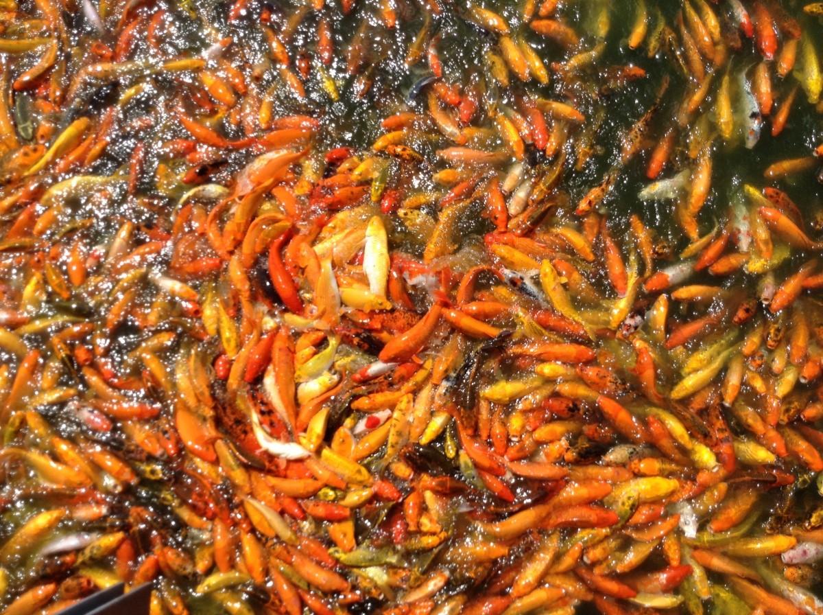 Fotos gratis agua naturaleza animal piedra verano for Comida para carpas koi
