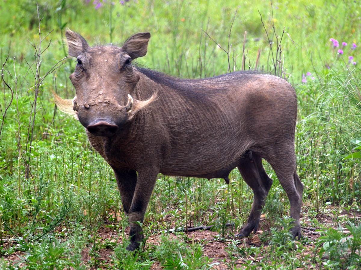 картинки свинья с рогами то, что популярным