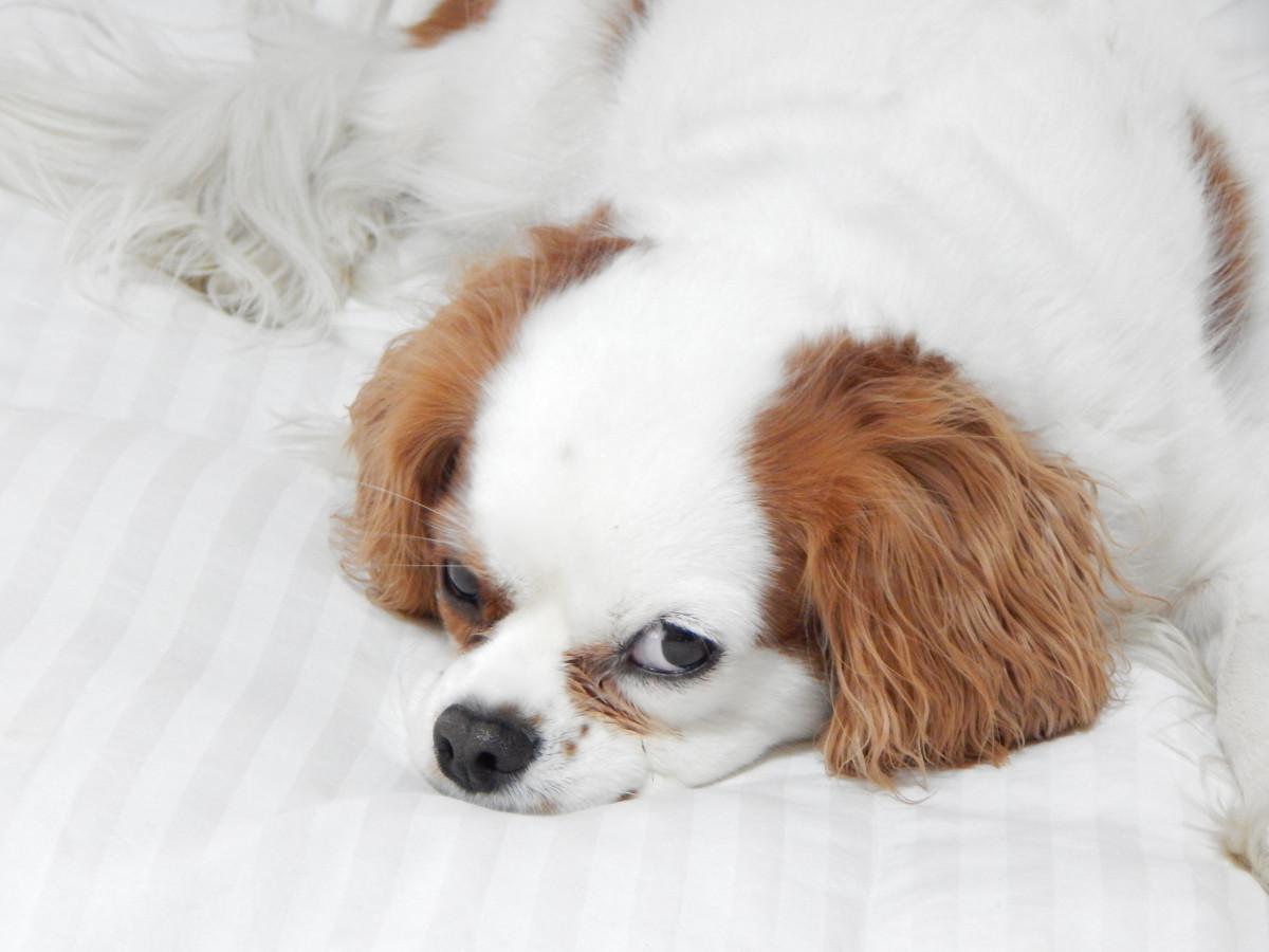 Fantastic Papillon Canine Adorable Dog - dog_puppy_doggy_pet_canine_cute_purebred_mammal-928674  HD_32562  .jpg!d