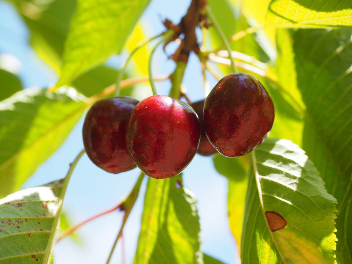Images gratuites arbre branche fleur fruit feuille - Arbre feuille rouge fruit rouge ...
