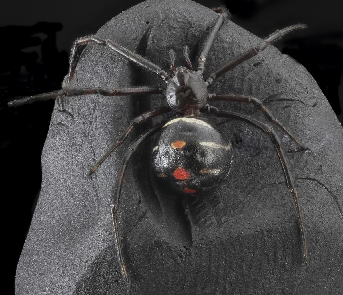 fekete özvegy pók szex a nagy pénisz jelei