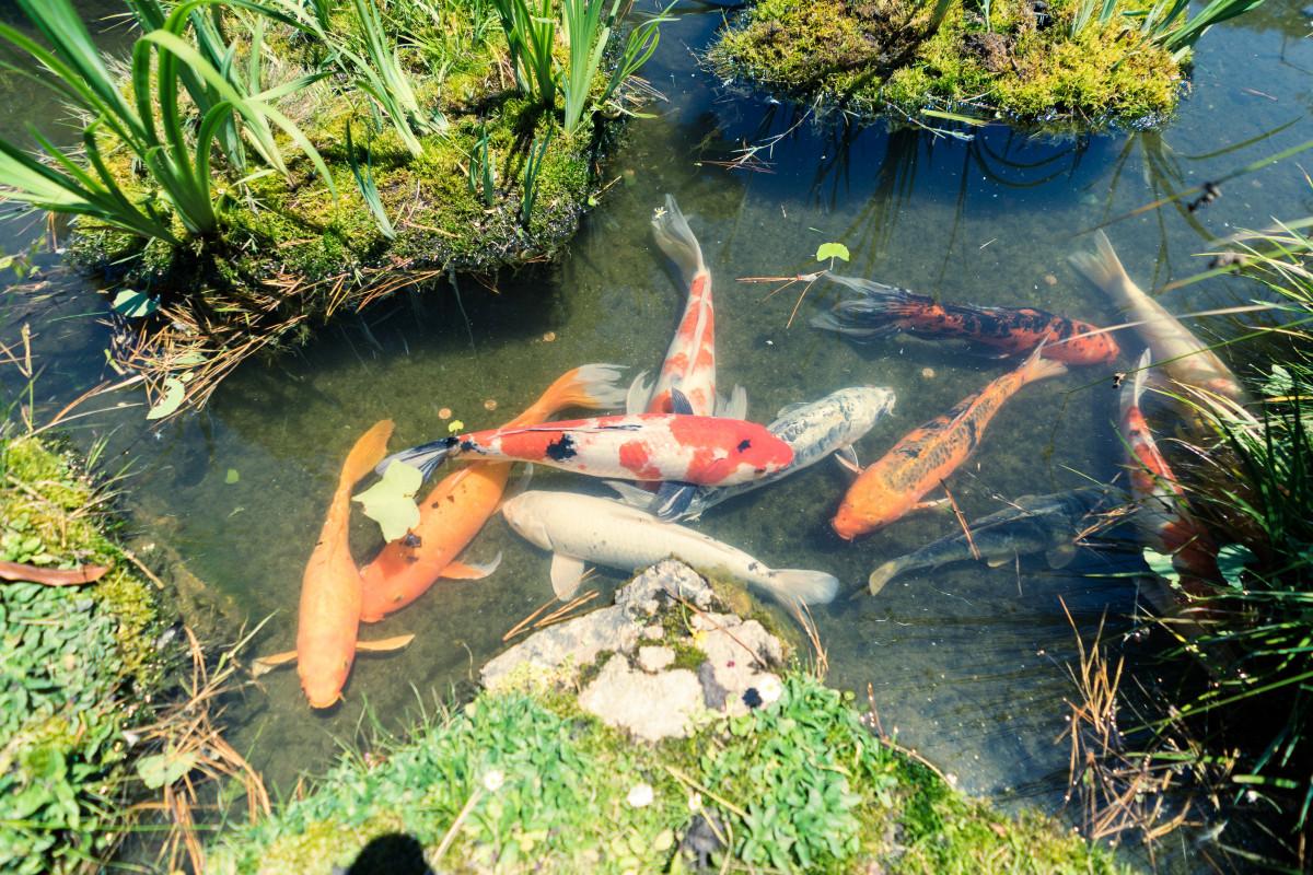 Gambar koi karper kolam ikan 6000x4000 106266 for Estanques para peces koi