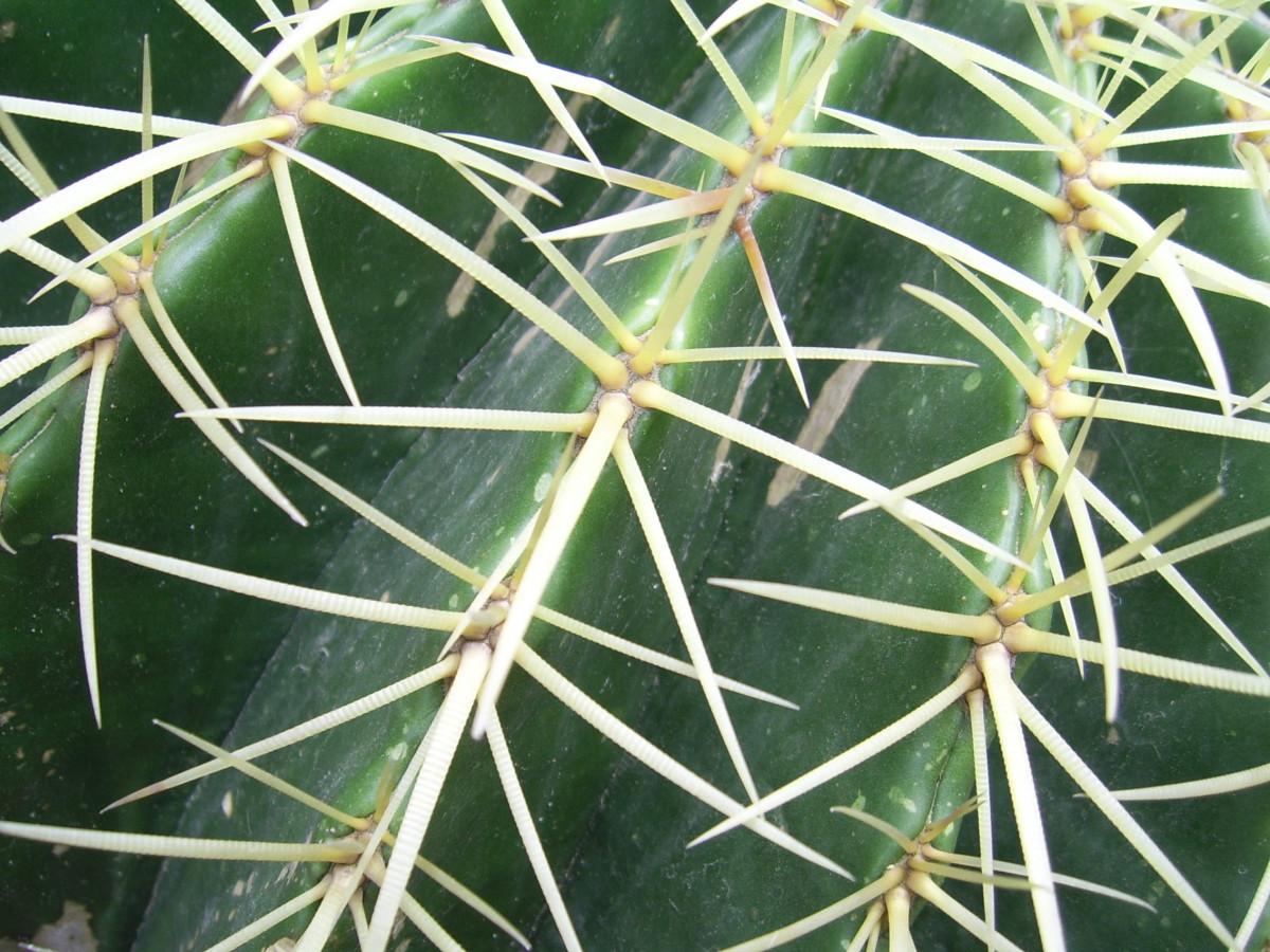 batang kaktus berlapis lilin