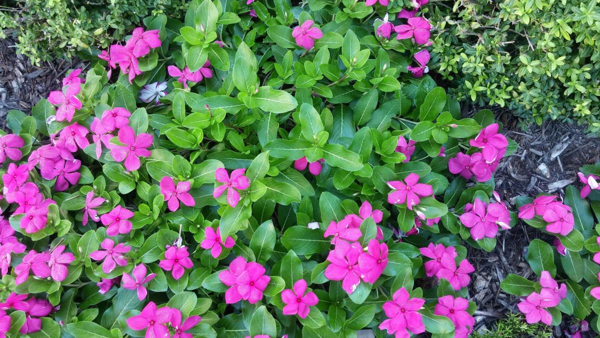 images gratuites paysage la nature fleur vert panouissement jardin arbuste fleurs. Black Bedroom Furniture Sets. Home Design Ideas
