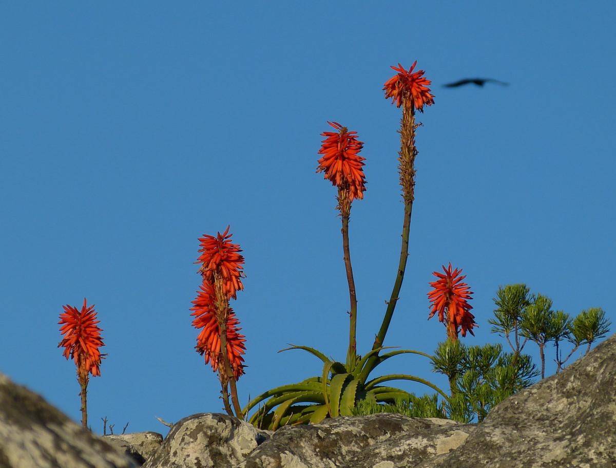Картинки цветет агава