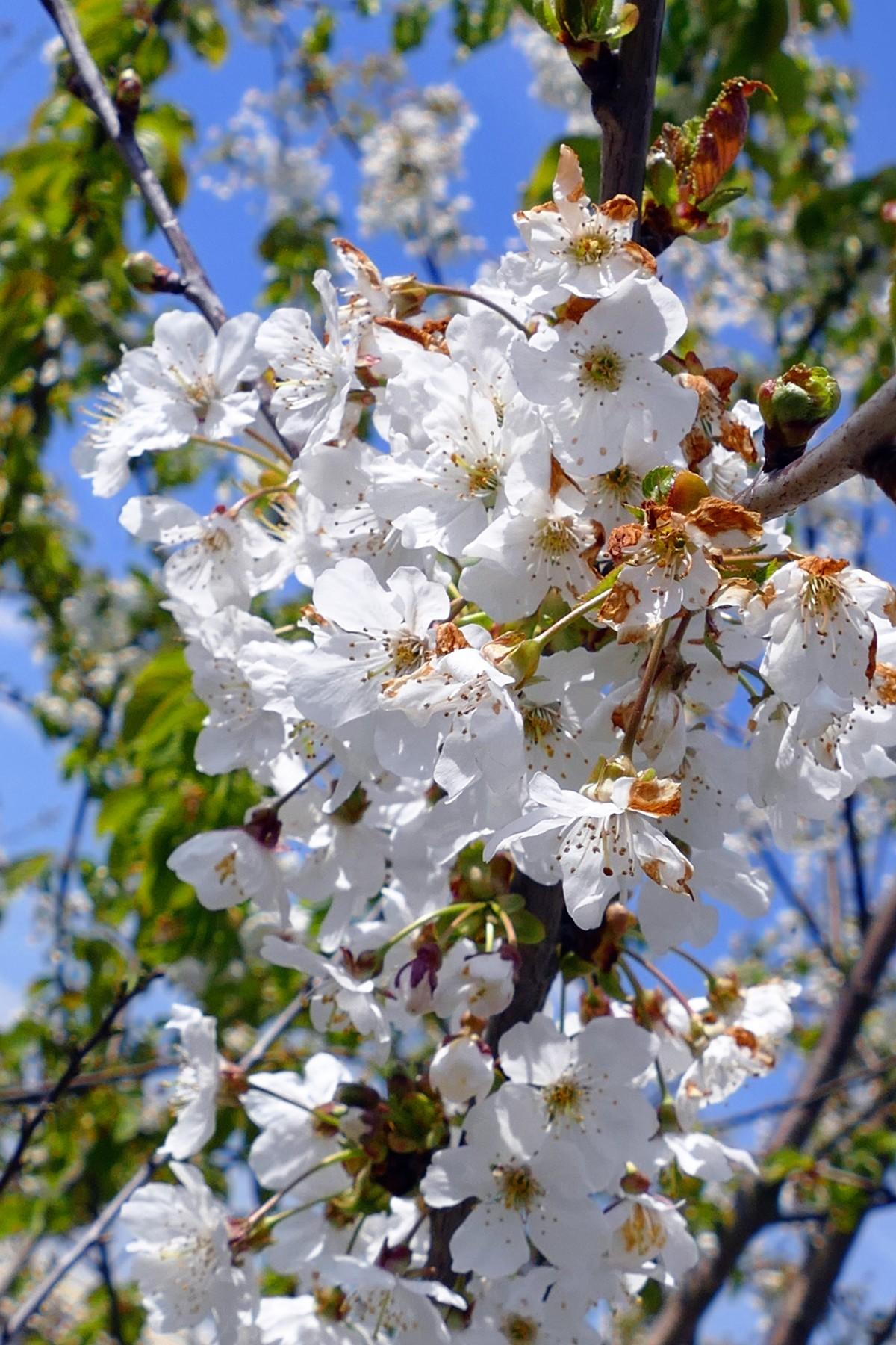 летний цвет белешенький  цветет летом
