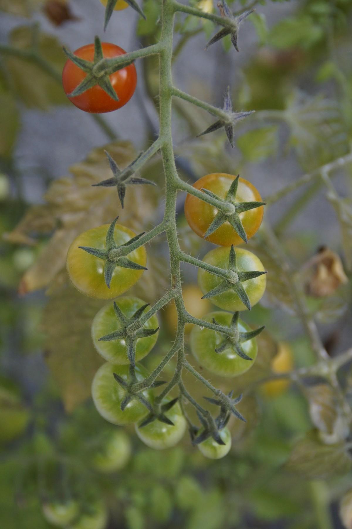 potager tomates
