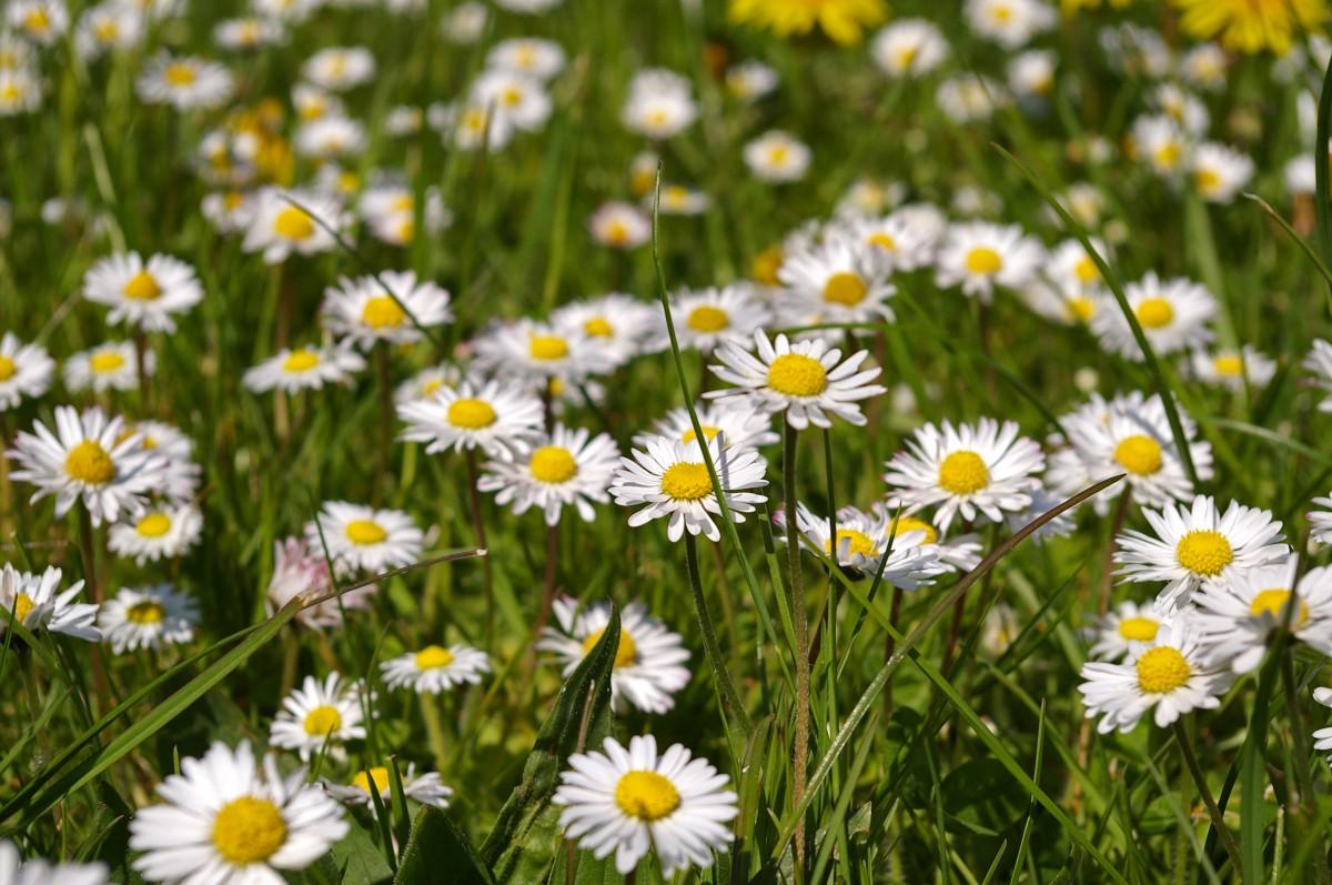 free images grass field lawn prairie bloom herb botany