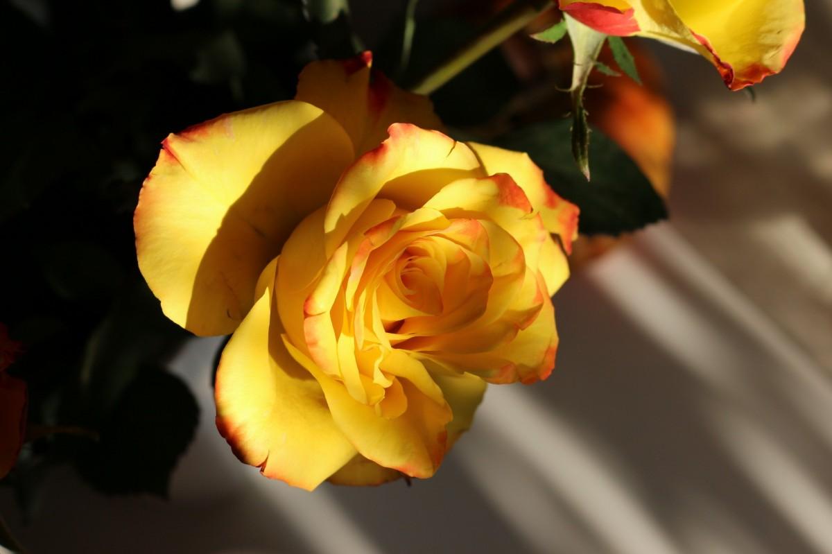 красивые картинки желто-красных роз обширных