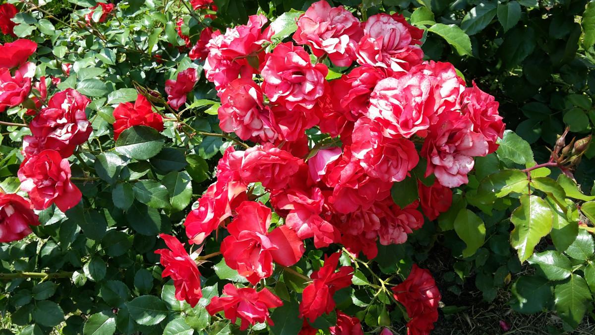 images gratuites la nature branche floraison botanique flore fleur rouge feuilles. Black Bedroom Furniture Sets. Home Design Ideas