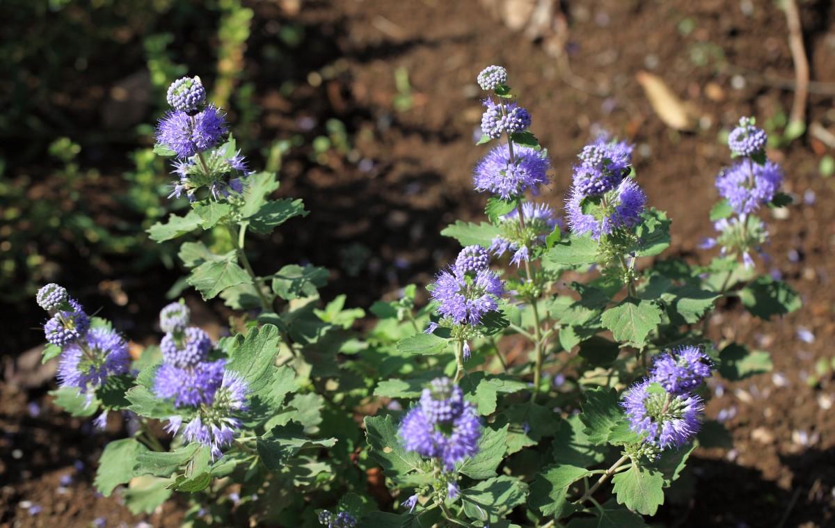 Images gratuites fleur feuille floraison herbe for Plante herbe haute