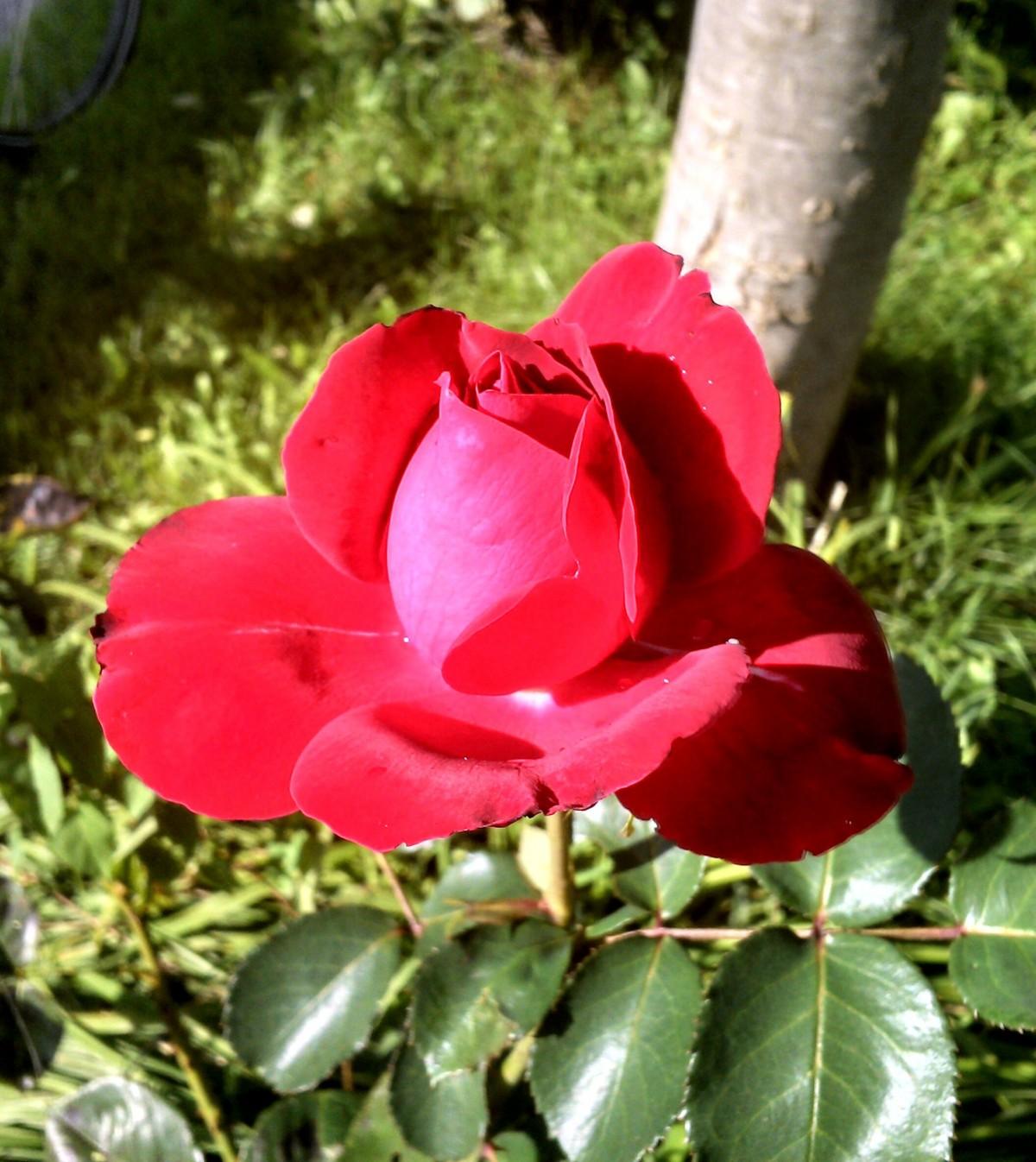 Garden Roses Flower Petal: Free Images : Blossom, Flower, Petal, Botany, Flora, Red