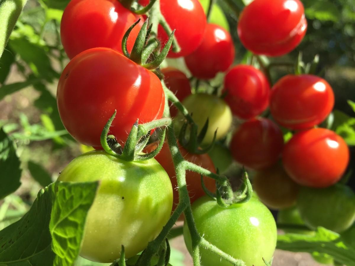 Что сделать чтобы зелёные помидоры покраснели? 41