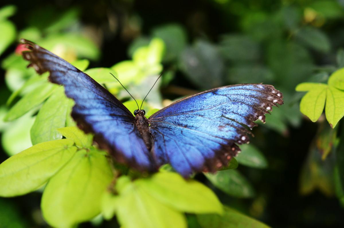 Images gratuites la nature aile feuille fleur vert jungle insecte botanique papillon - Insecte vert volant ...