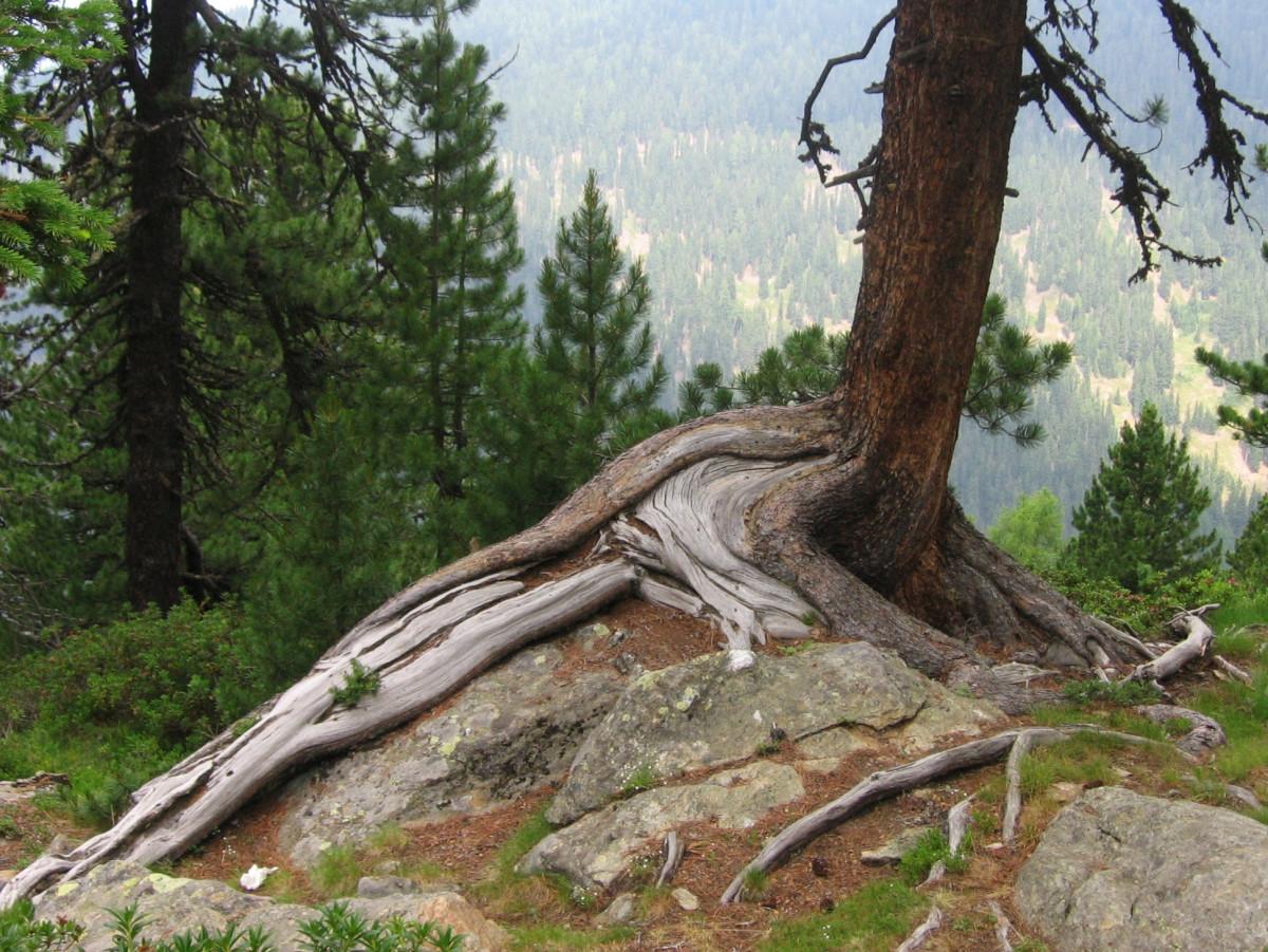 Images gratuites arbre roche branche plante tronc for Plante ligneuse