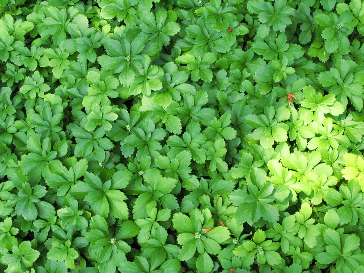 無料画像 工場 葉 パターン フード 緑 高い ハーブ 作物