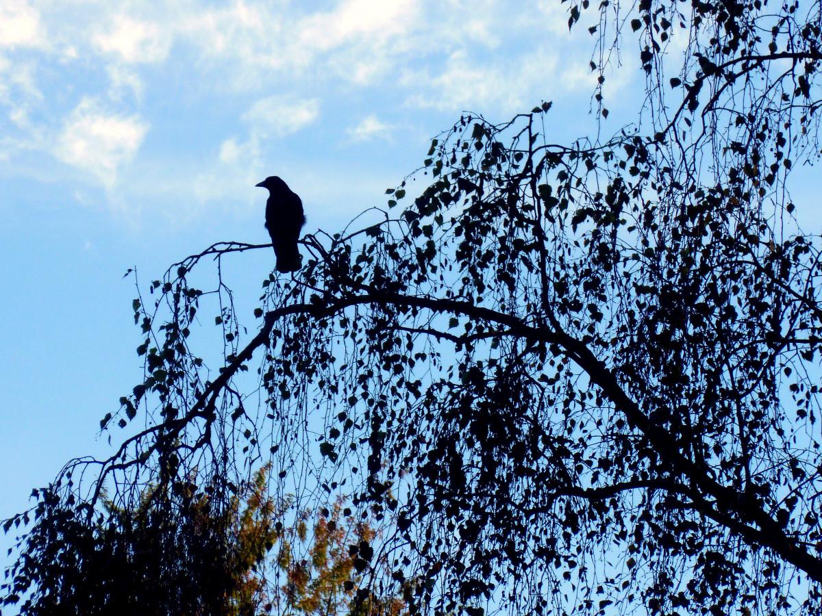 vogel blau schwarze federn
