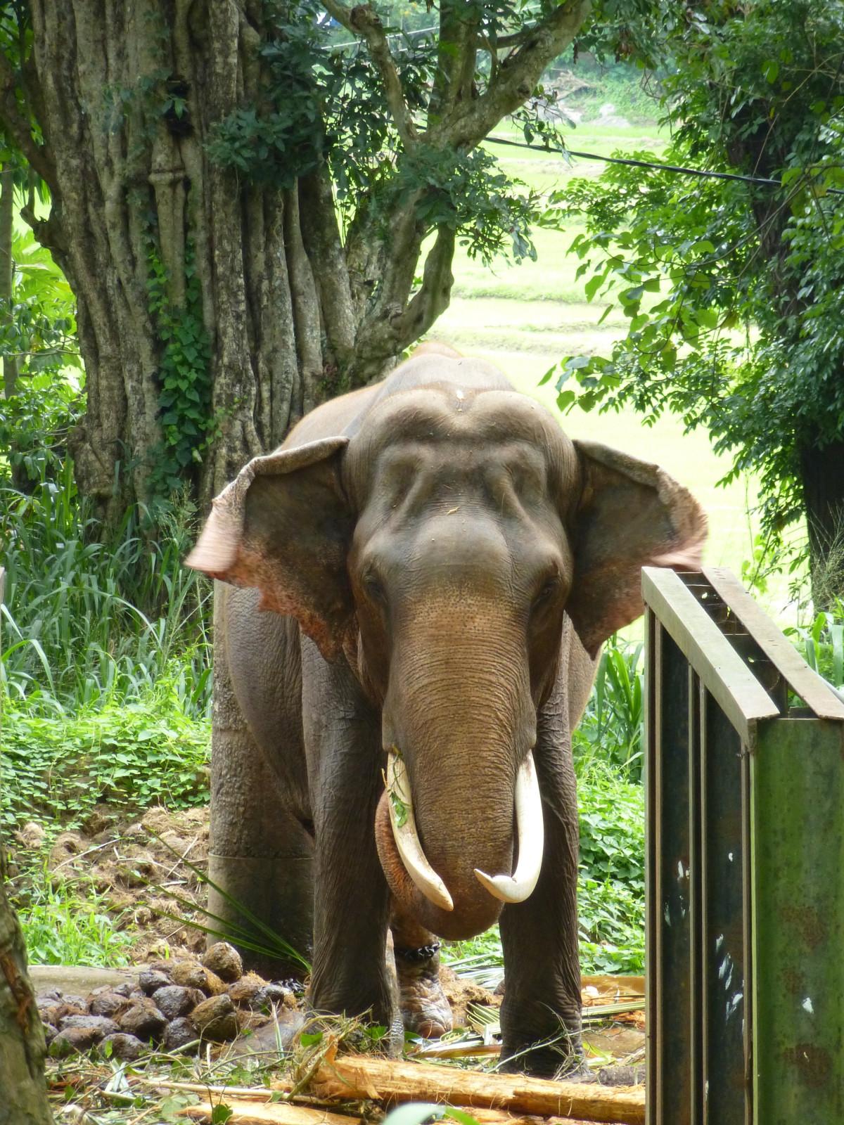 Images gratuites animal faune zoo jungle mammif re l phant d fense ivoire animaux - Photos d elephants gratuites ...