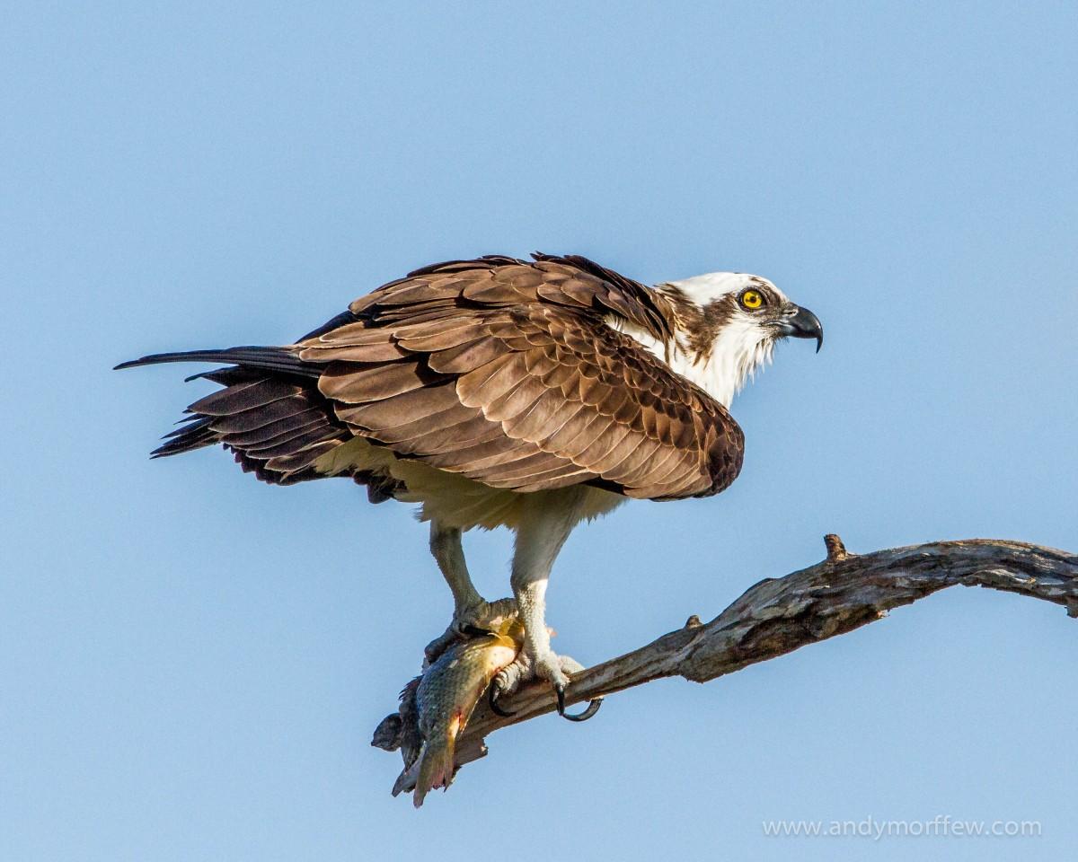 gambar sayap margasatwa paruh burung rajawali elang