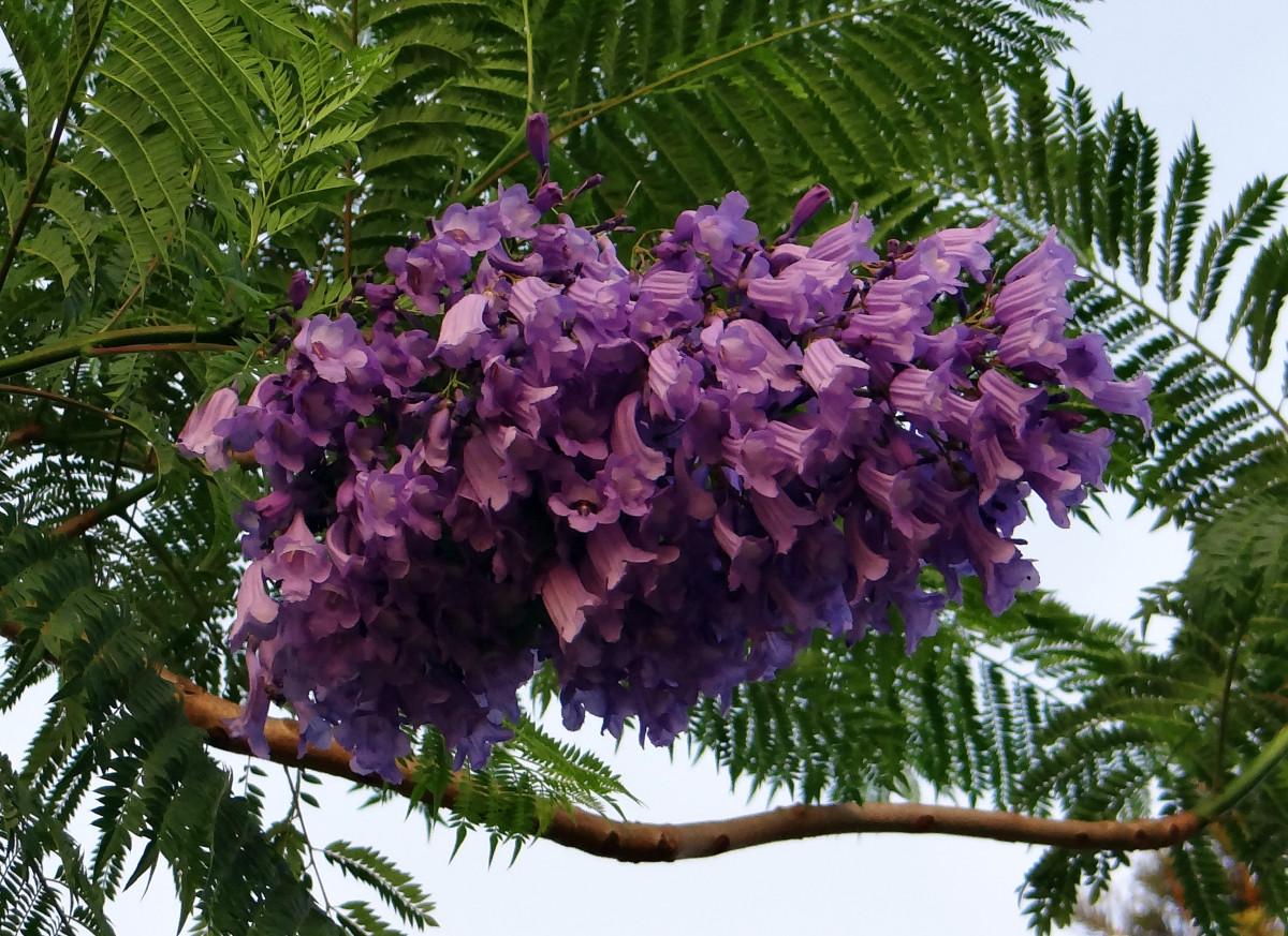 Images gratuites arbre branche fleur floraison for Plante 7 feuilles