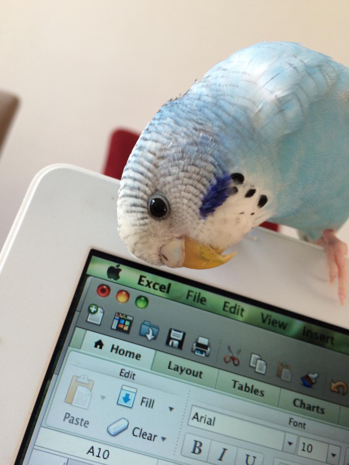 Fotoğraf Bilgisayar Renk Mavi Sanat Papağan Kulübe Genç
