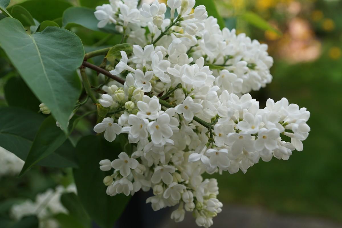 Free Images Nature Branch Blossom Flower Bloom Botany Flora