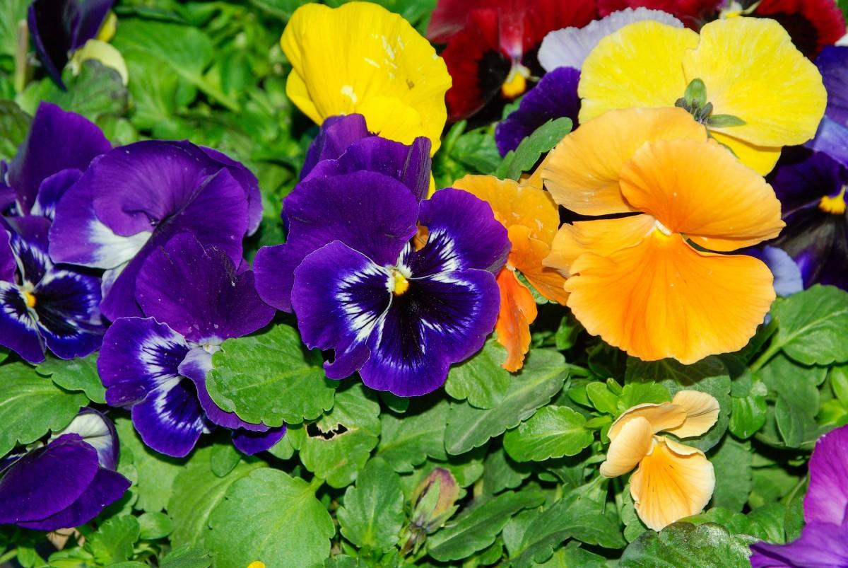 Images gratuites fleur p tale couleur jaune flore fleur sauvage parterre pens es - Image fleur violette gratuite ...