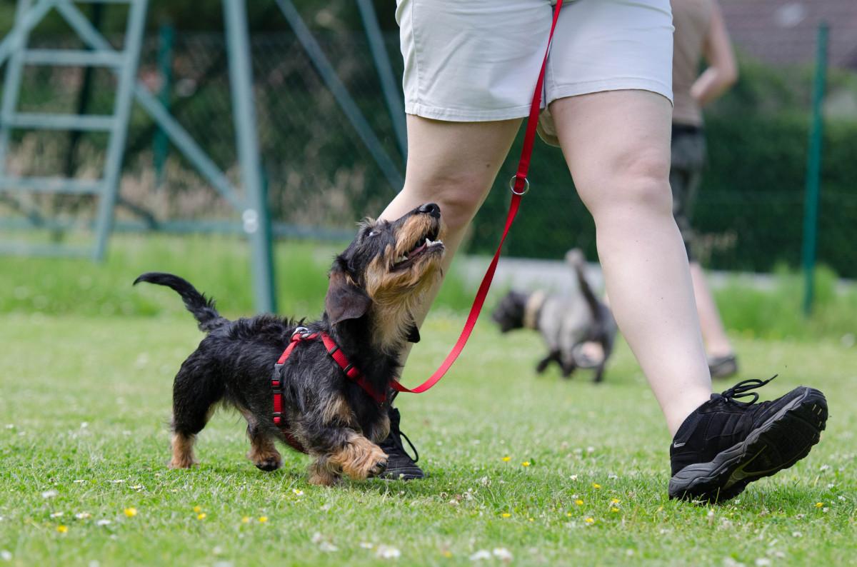 дрессировка маленьких собак в домашних условиях