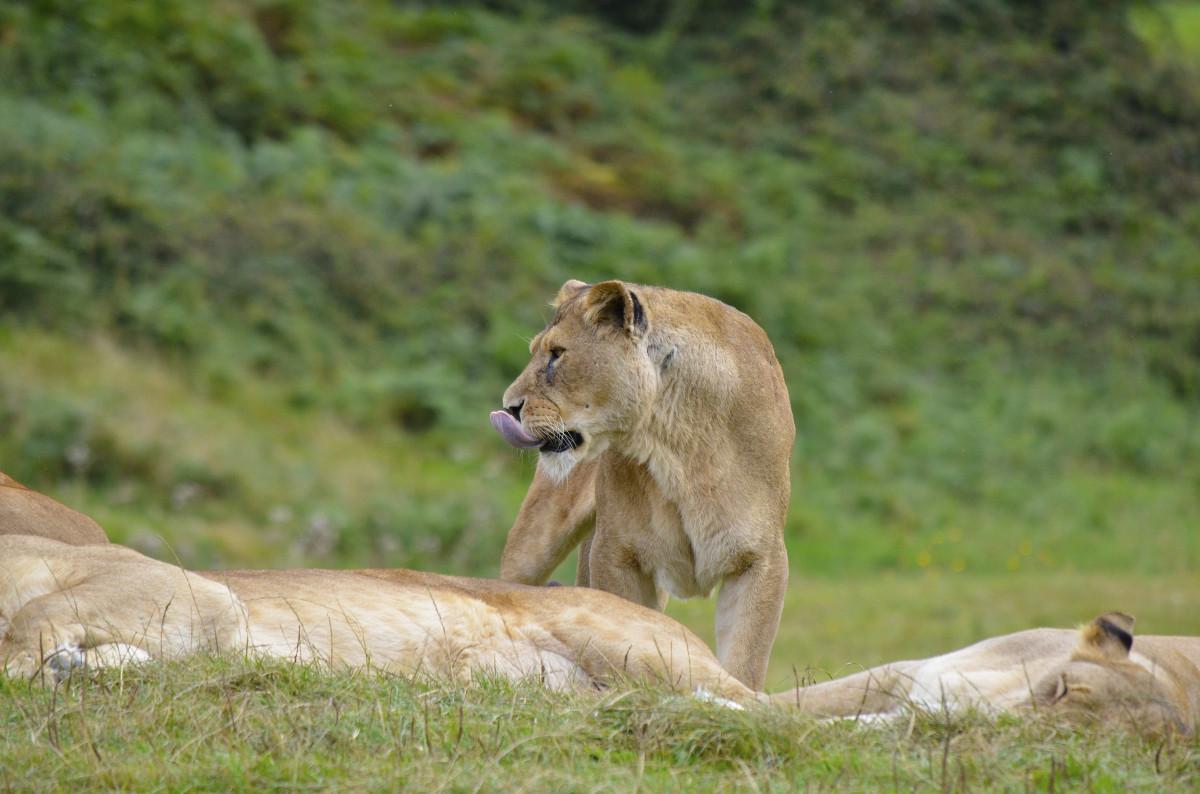 Images gratuites aventure faune zoo afrique f lin savane lion lionne safari fauve - Felin de la savane ...