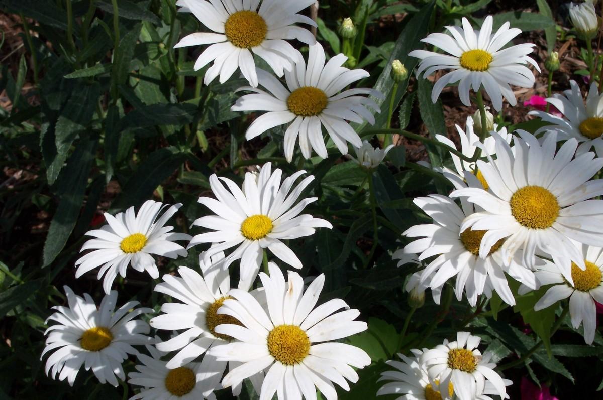 Маргаритка цветок белая