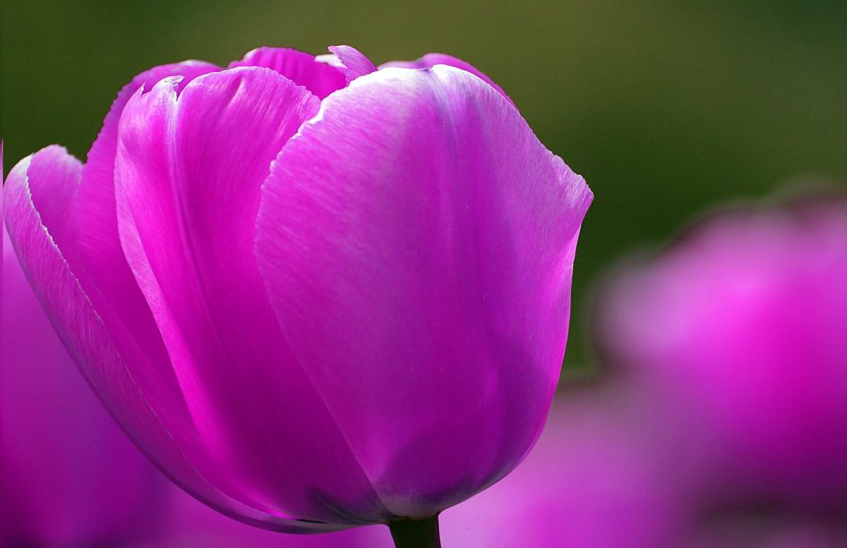 деталь комнате цветок тюльпана крупным планом фото сочетании белого платья