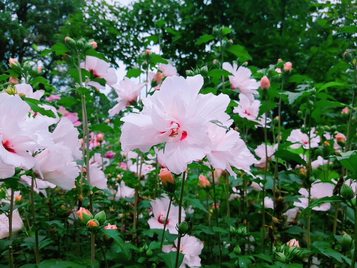 images gratuites fleur rose botanique flore arbuste malvales hiboux plante fleurs. Black Bedroom Furniture Sets. Home Design Ideas