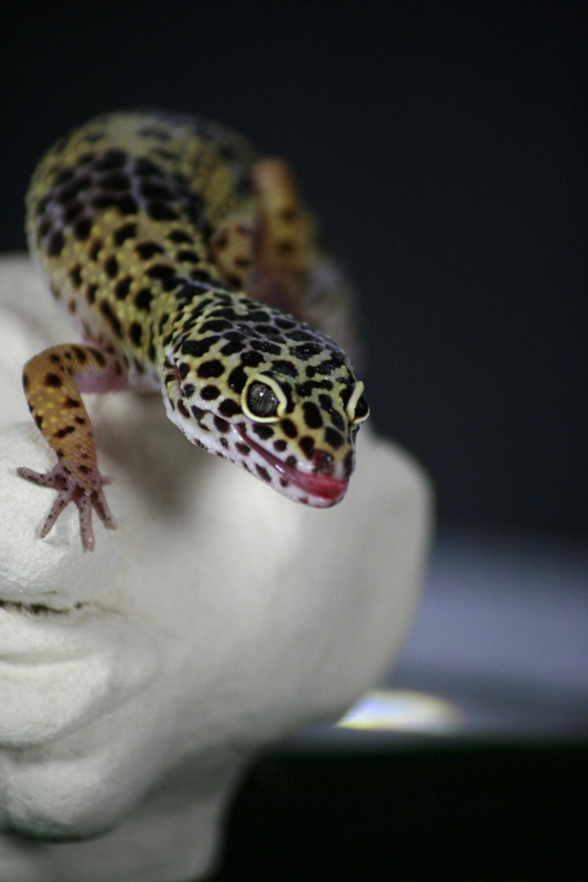 free images hand finger eat fauna lizard gecko close up