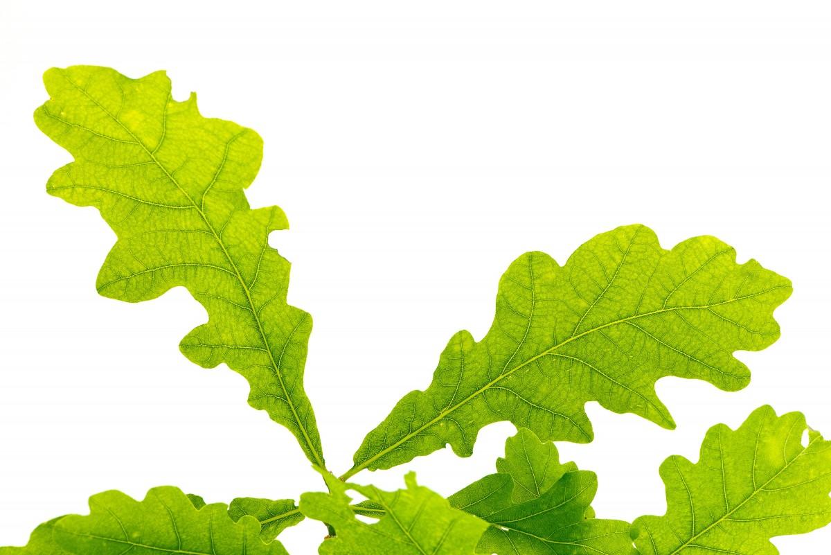 Images gratuites feuille de chene vert feuille d 39 arbre for Plante 7 feuilles