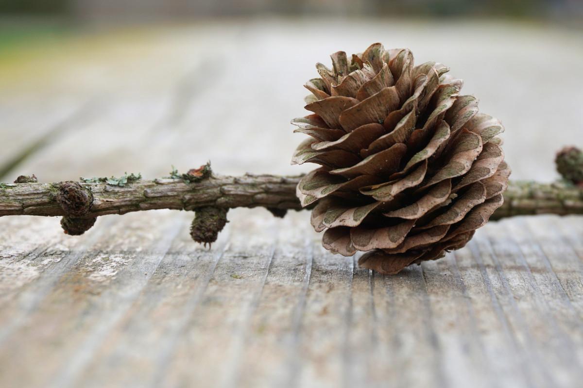 на картинке шишки с деревом поклонники