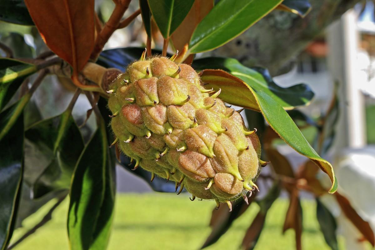 Images gratuites arbre feuille produire botanique for Plante 7 feuilles
