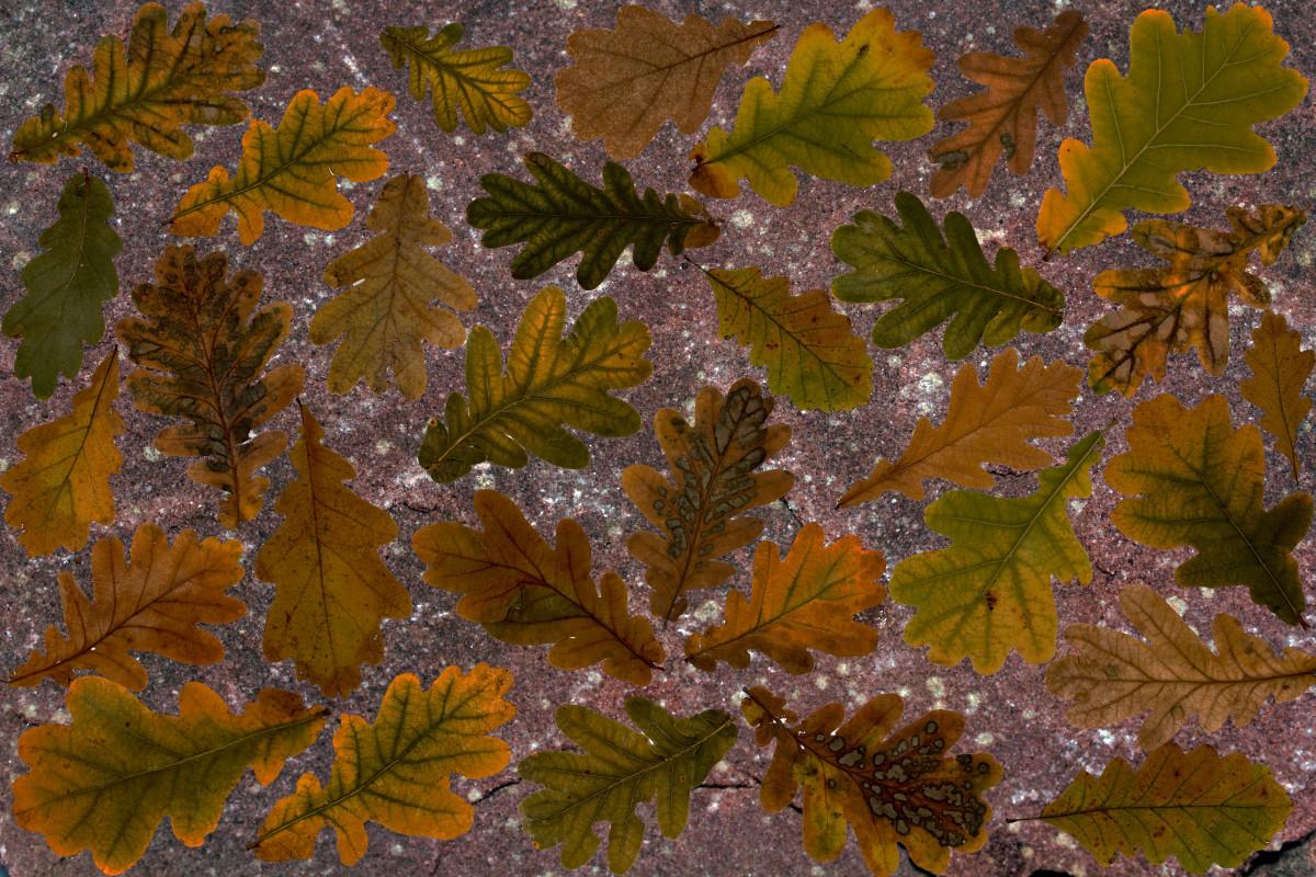 Images gratuites arbre branche feuillage l 39 automne for Plante 7 feuilles