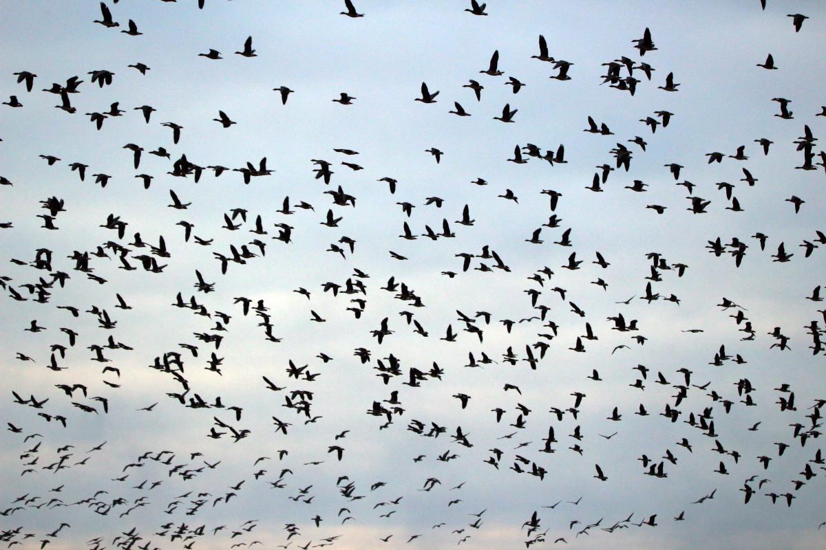Стая летящих птиц картинки